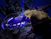 A purple Clown Triggerfish in water - Fish wallpaper