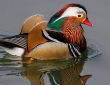 A mandarin duck swimming on lake water