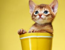 A sweet brown kitty in a yellow pot