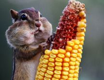 A cute chipmunk eats the corn - Animal wallpaper