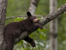 Sweet little black bear sleeps on a branch