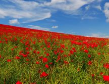 A field with red poppies - Beautiful landscape