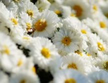 A bee on the many white daisies