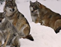 Many wolf in snow - Wild animals wallpaper