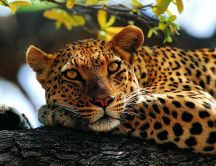 Calm leopard on a wood - Wild animal