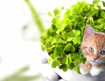 Sweet little kitten in a vase full with green clover