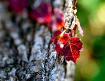 Red leaves on tree - Autumn wallpaper