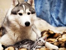 A husky dog and a gray cat are friends