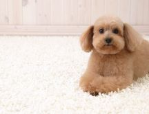 A brown sweet puppy on a white fluffy carpet