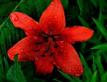 Beautiful red lily flower with water drops