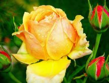 Beautiful yellow and red roses with drops of dew