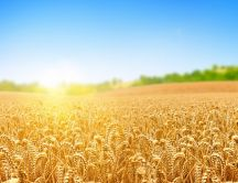 A wheat field in the sunlight - Summer time