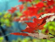 Red leaves on tree - Beautiful colorful nature
