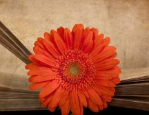 Orange Gerbera flower on a vintage book