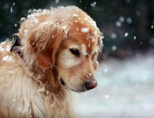 Sweet dog in the snow - HD winter wallpaper