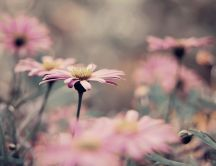 Pink vintage flowers in the garden - macro HD wallpaper