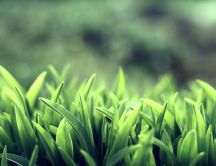 Fresh green grass in the morning - macro HD wallpaper