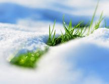 The green grass growing under the snow - spring time