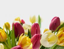 Wonderful tulip flowers - spring season