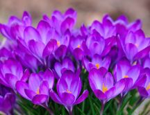 Bunch crocuses - wonderful spring flowers