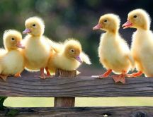 Sweet little fluffy ducks - HD wallpaper