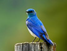 Beautiful bluebird on tree trunk - spring wallpapers