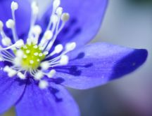Beautiful little blue flowers - macro wallpaper