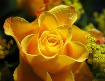 Wonderful yellow rose - Macro water drops
