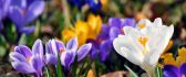 White, yellow and violet crocuses - beautiful flowers
