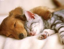Sweet love between cats and dogs - HD wallpaper