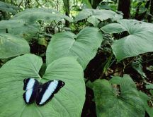 Back and blue butterfly on a big leaf in the Tropics