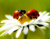 Two little ladybugs on a daisy - summer time