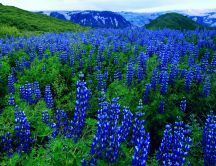 Blue flowers on a mountain field - HD wallpaper