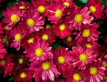 Beautiful red chrysanthemums - carpet of flowers
