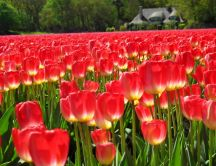 Beautiful red carpet of tulips - HD wallpaper
