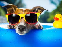 Hot summer day - fancy dog with sunglasses at the pool