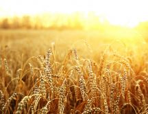 Golden wheat field in the sunrise - HD wallpaper