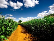 Country path and a corn field - summer time