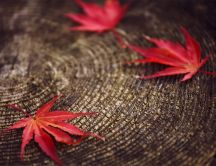 Red Autumn leaves on a tree trunk - HD macro wallpaper