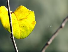 Yellow Autumn leaf on a branch of tree - Macro HD wallpaper