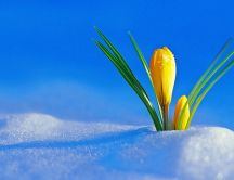 Wonderful yellow flower grows from the snow - HD wallpaper