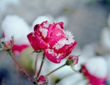 Snow over a beautiful pink rose - Flowers in the garden