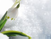 Wonderful snowdrop in the white and cold snow - HD wallpaper