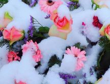 Pink flowers full with snow - Wonderful spring garden