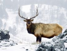 Wild deer in the forest - Winter season