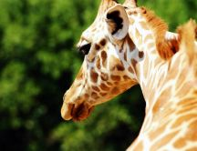 Wonderful neck of giraffe - HD wild animal wallpaper