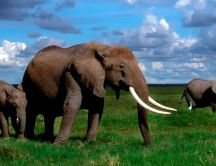 Big elephants in the jungle - HD wild animals wallpaper