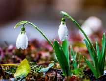 Big water drops on the beautiful snowdrops - Welcome Spring