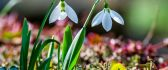 Two delicate snowdrops - Spring flowers in the garden