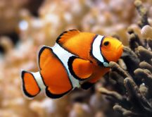 Macro wonderful wallpaper - Orange fish under the water